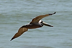 Pelican_in_Flight_web1000_DSC_1618.jpg