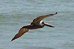 Pelican_in_Flight_web1000_DSC_1618.jpg