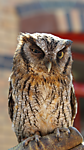 Screech_Owl.png