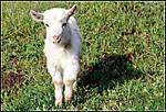 The_lamb_c.jpg