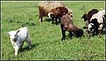The_lamb_d.jpg