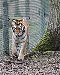 Tiger_pic.jpg