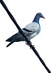 Wojciech_Zielinski_pigeon_DPP_0050_3_.JPG
