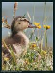 duckling7.jpg
