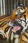 tiger_s.jpg