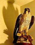 247468PERIGRINE_FALCON_BY_HALOGEN_LAMP.jpg