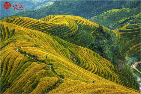 Golden rice terrace