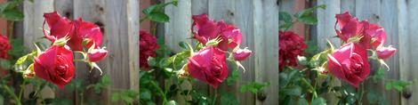 Rose Camera Test