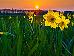 Daffodiles-backlit-by-sunset.jpg