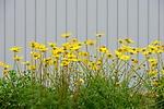 Yellow_Flowers_and_Wall_adj_ARC_1451_web1000.jpg