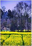 yellowfields.jpg