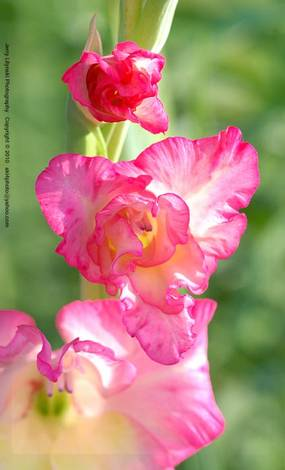 A colorful gladiolus bloom
