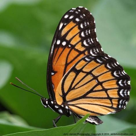 The summer's first Monarch