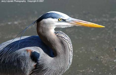 One close-up image of a heron