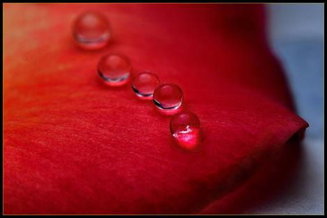 Droplets on Rose