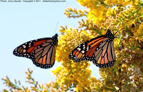 Near Mobile Bay - a pair of Monarch butterflys