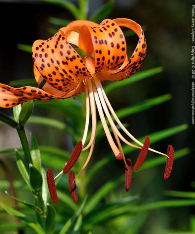 A late summer Tiger Lily