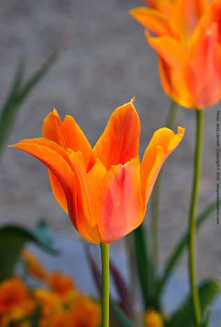 A tulip flower