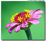000_W_052_D700_200-mic_Iso800_Mpod_30Jun09_Flwr_sgc694.jpg