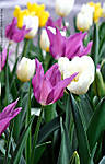 04_D_355_D90_40dx-mic_Iso500_20Mar12_Wash-DC_Nat-Arboretum_Tulips_sgc699.jpg