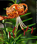 2_G_003_D5000_VR85-mic_Iso160_8Aug12_CView_Close-up_Yard_Tiger-Lily_sgc699.jpg
