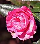 3_D_014_D7000_VR18-ii_I-320_7Mar13_Trip_Massee-Ln_Camellia_sgc699.jpg