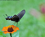 5_I_116_D90_AF105DC_I-2500_12Jul13_CView_FYard_Pipevine-Swallowtail_Fly_sgc699.jpg