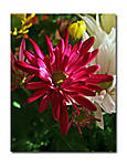 Chrysanthemum_f_copy.jpg