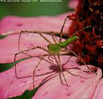 k_Y_058_D40x_VR85_Iso400_26Jun11_Zinnia_Spider_sgc699.jpg