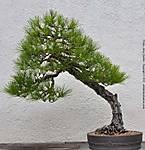 12_D_417_D90_VR16-85_Iso400_20Mar12_Wash-DC_Nat-Arboretum_Bonsai_sgc696.jpg