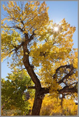 Backlit Fall Cottonwood