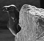 raven2BW.jpg