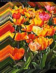 000_H_089_D300_VR18-105_Iso500_4Apr10_Tulips_Group_svc693.jpg