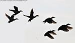 1_I_110_D90_VR55_I-160_23Apr13_Liza-Jackson-Park_Ducks_4_4_sgc699.jpg