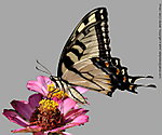3_M_056_D5000_VR55_I-500_13Aug12_CView_Yard_Tiger-Swallowtail_4_Done_sgc698.jpg