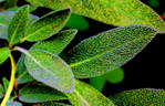 salvia_leaves.jpg