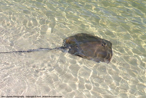 One swimming ray