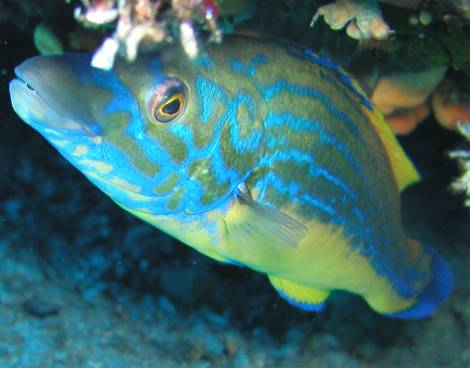 curious wrasse