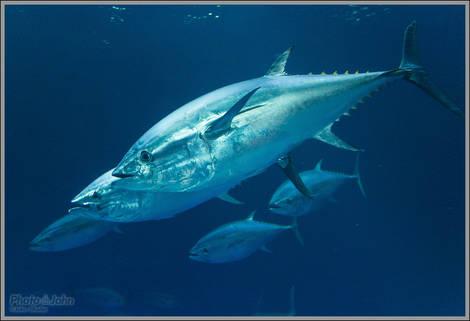Tuna - Monterey Bay Aquarium