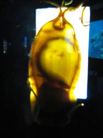baby shark in egg-sack