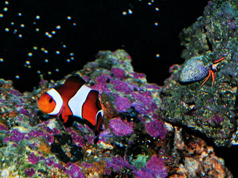 Clown fish and red legged hermit crab