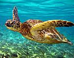 aqua-turtle-.jpg