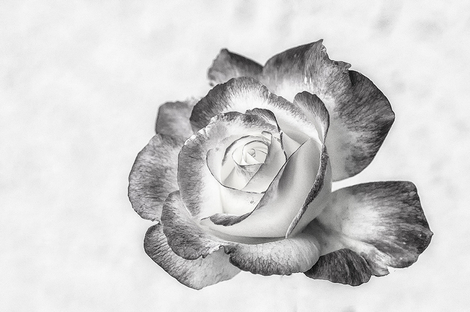 Double Delight Rose in B&W