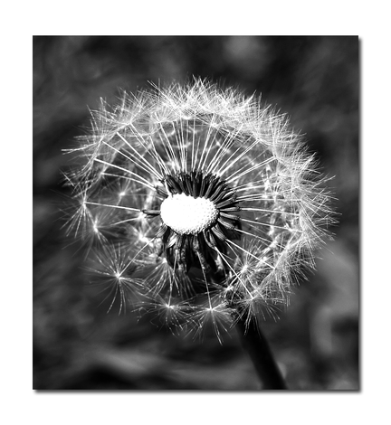 Dandelion Black & White