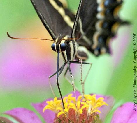 Butterfly 2007  _5
