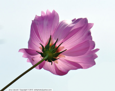 A single Cosmos flower