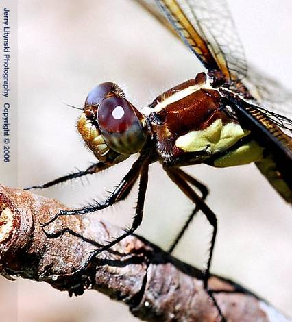 A close-up dragonfly