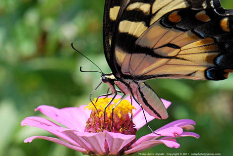 A Swallowtail butterfly on a Zinnia blossom