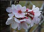 001_I_027_D40x_28-105_Iso100_5T_Tpod_28Mar10_Cherry_Blossom_ugc697.jpg