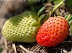 001_K_039_D80_60-mic_Iso250_15Apr10_Soft_Stawberry_ugc674.jpg
